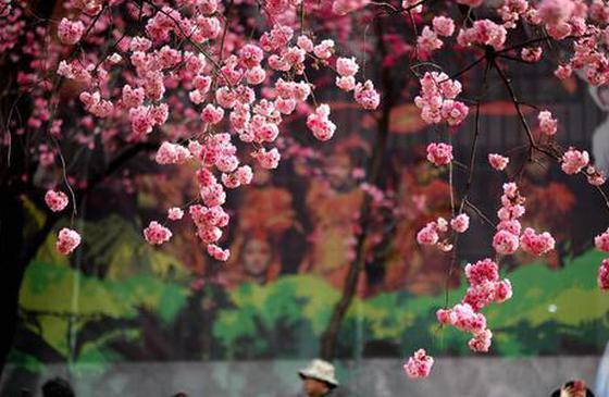 高清图丨昆明樱花盛开 游人纷至沓来