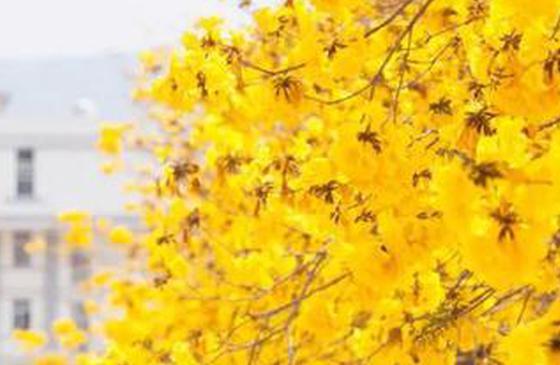 高清图丨三月普洱 黄花风铃绽放在阳光中的摇曳生姿
