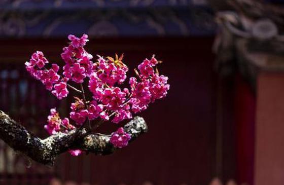 旅游丨丽江普济寺:百年古树桃花佛前盛放