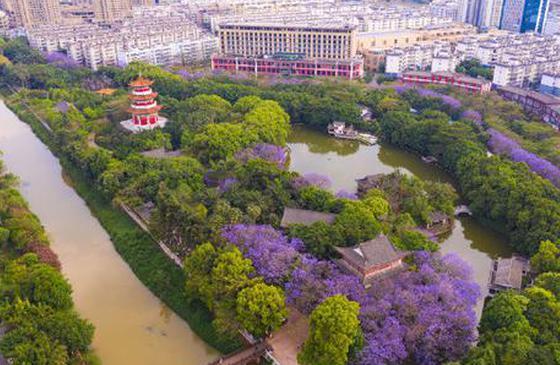 高清图丨红河开远泸江公园的蓝楹花 美的让人窒息!
