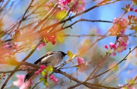 旅游丨美丽小城昌宁 鸟语花香最春天