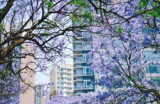 高清图丨昆明蓝花楹 一场奢侈梦幻的视觉盛宴