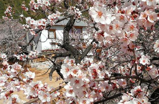 高清图丨香格里拉:人间四月 赴尼西赏桃花盛宴