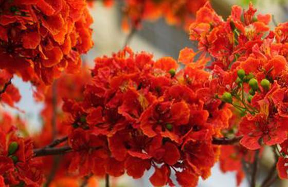 高清图丨超级美!云南宾川凤凰花开红似火