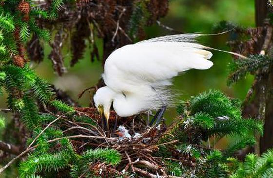 高清图丨美丽昌宁 :鹭鸶鸟的温情时光