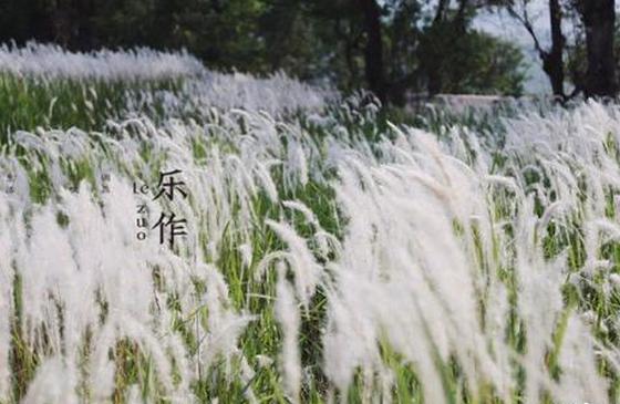 高清图丨云南的田野:茅草花摇曳多姿的夏日