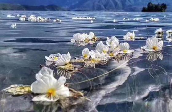 """高清图丨水天仙境!泸沽湖海藻花""""水性杨花"""""""