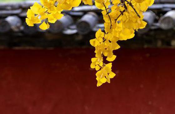 高清图丨太美!丽江指云寺的银杏黄啦