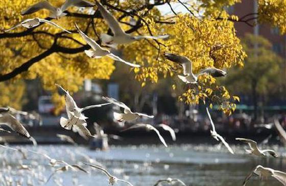 高清图丨红嘴鸥化身春城精灵 打卡美丽昆明