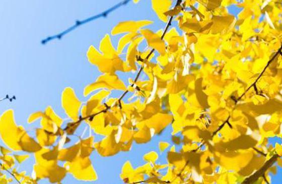 高清图丨昆明初冬染黄的银杏叶 惊艳了时光!