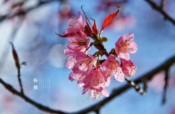高清图丨大理冬樱花:恰似娇羞的少女 宛如冬日的暖阳