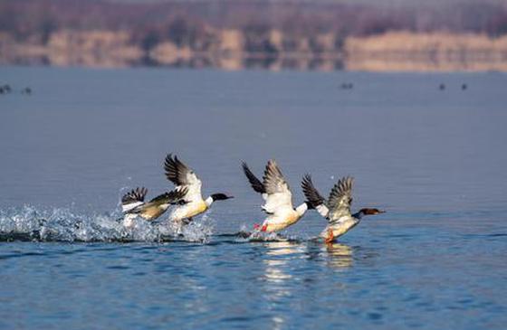 冬季,去剑湖观鸟