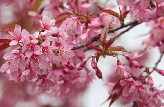 高清图丨粉色浪漫来袭!昆明红塔西路冬樱花上线
