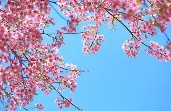 旅游丨云南的冬樱花季绚烂开启 美到让人窒息