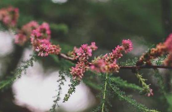 去香格里拉看花