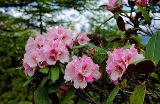 山满杜鹃,我在香格里拉,等春来