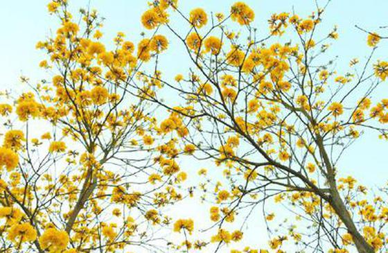 高清图丨德宏瑞丽弄莫湖畔 黄花风铃木花开正好