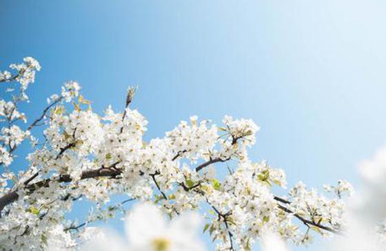 高清图丨大理巍山万亩梨花盛开 山坡如铺了白雪一般