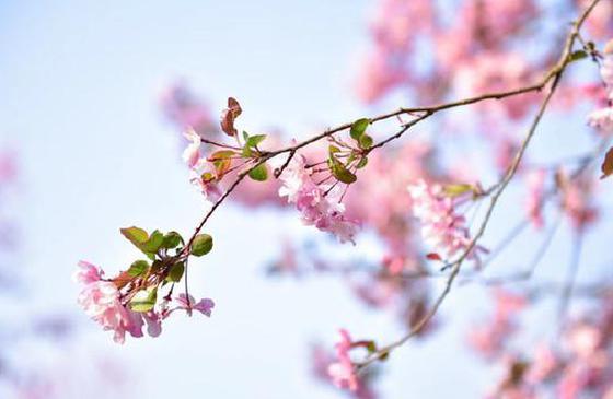 高清图丨春暖花开!云南腾冲的海棠花正烂漫