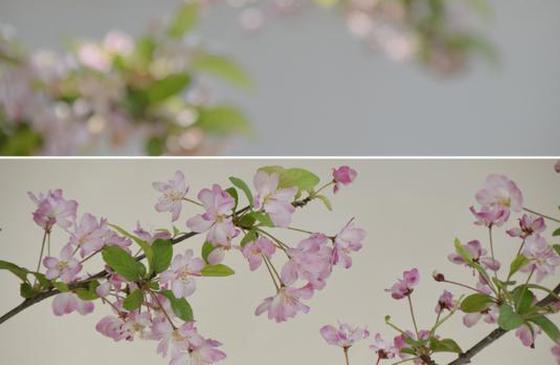 高清图丨拂面春风恋尘心 云南会泽海棠花美如画