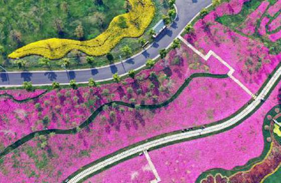 高清图丨弥勒太平湖森林小镇 美女樱漫山遍野盛放