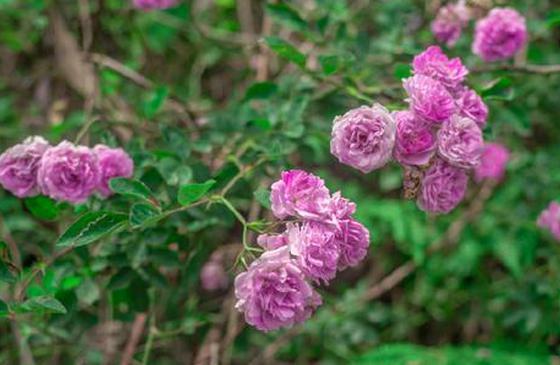 高清图丨春路雨添花,德宏户撒蔷薇花盛开