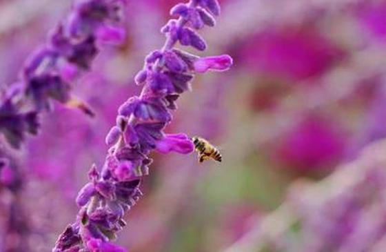 高清图丨美丽开远:南洞河两岸紫色鼠尾草的梦幻