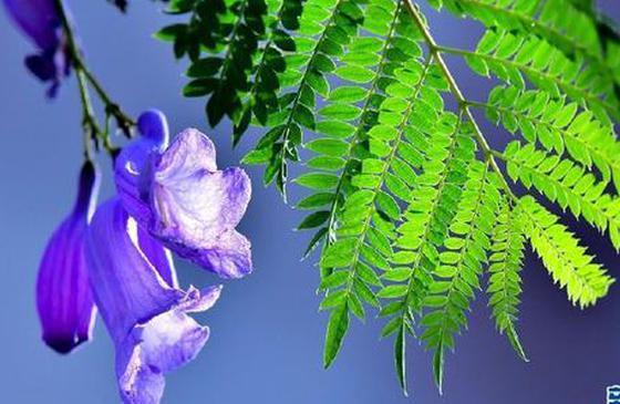高清图丨满树盈盈 团簇朵朵 紫色浪漫点亮梦幻保山