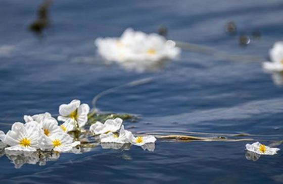 高清图丨洱海又见海菜花 随波荡漾美如画