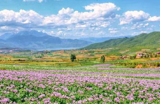 旅游丨在云南,还有一种美景叫做洋芋花开!