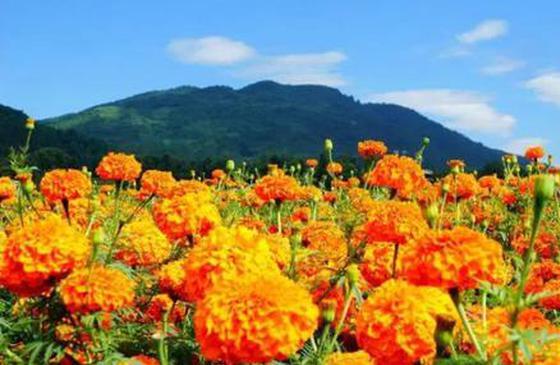 高清图丨在高黎贡山脚下,拥抱怒放的万寿菊花海