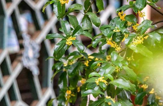 高清图丨雨沾桂花,送来了丽江秋天的第一抹香