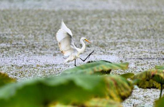 高清圖丨瀟灑飄逸!美麗昌寧·偶遇孤鷺樂荷塘