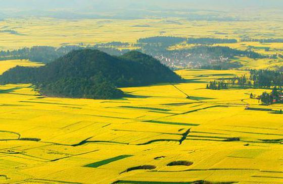 高清圖丨云南羅平油菜花海 一片一望無際的金黃
