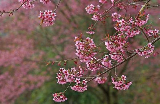 高清图丨建水:冬樱花绚丽绽放 色彩缤纷如诗如画
