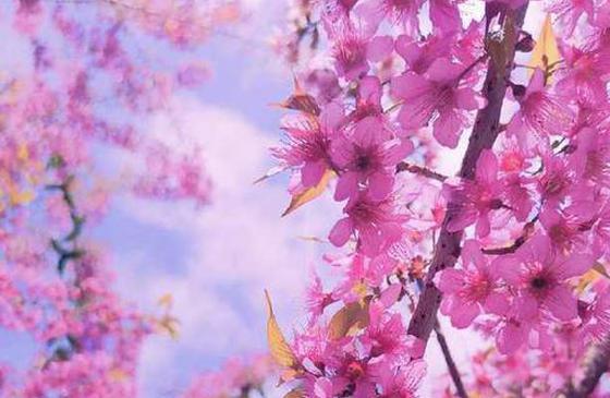 高清圖丨人間百花皆凍艷,唯有昆明花常開