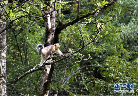 在云南迪庆藏族自治州维西县塔城镇的滇金丝猴国家公园拍摄的滇金丝猴(9月19日摄)。新华社记者 张誉东 摄