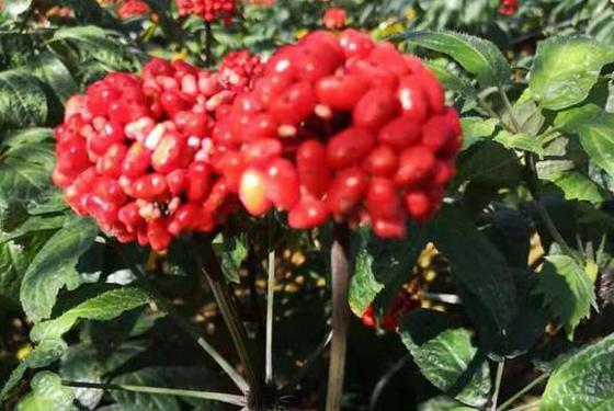 云品丨涨知识 吃过三七 可三七红籽你见过吗?
