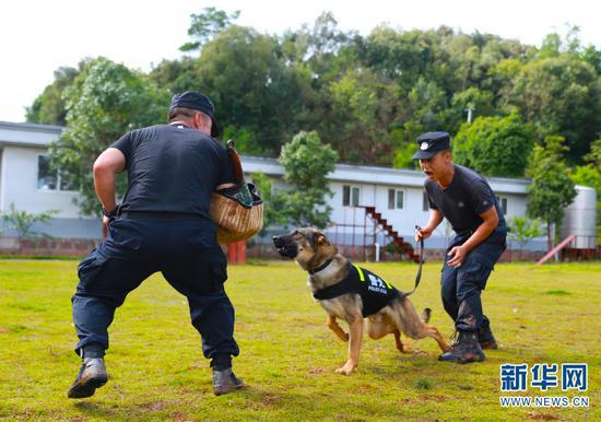 训导员带警犬进行扑咬训练。(新华网 罗春明 摄)