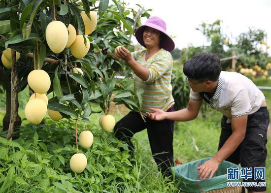 果农在采摘芒果