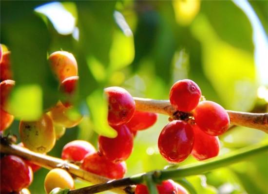新鲜咖啡豆