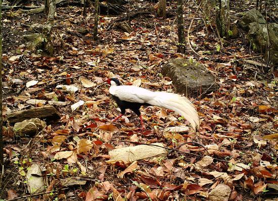 白鹇 (国家二级重点保护野生动物,列入《世界自然保护联盟》濒危物种红色名录 )