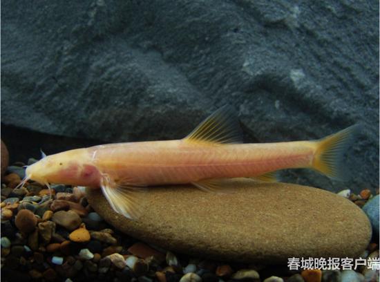 田林高原鳅 Triplophysa tianlinensis Li, Li, Lan et Du, 2017