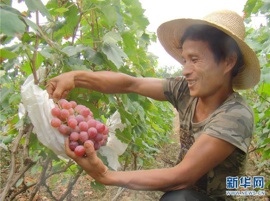 农户采摘葡萄