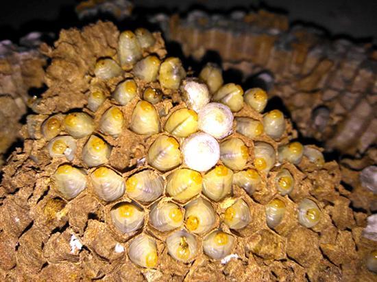 躺在蜂巢里的蜂蛹