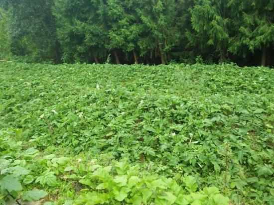 中草药种植助农增收