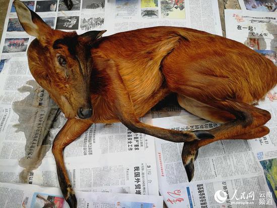 """查获的国家""""三有""""保护野生动物赤麂死体。摄影:郭丽娟"""