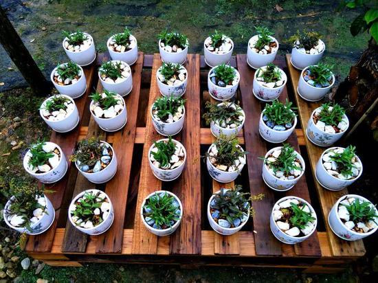 石斛产业延生产品——石斛盆景