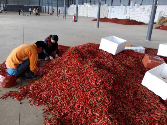 村民在小密枝辣椒交易市场分拣小米辣