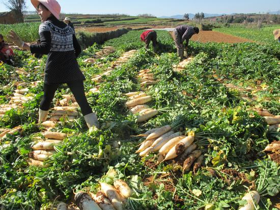 村民种植的萝卜喜获丰收